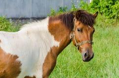 Peignez le cheval dans le pâturage Image stock