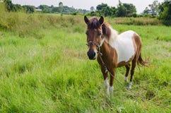 Peignez le cheval dans le pâturage Photographie stock libre de droits