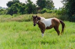 Peignez le cheval dans le pâturage Photo libre de droits