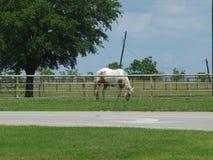 Peignez le pâturage de cheval Image stock