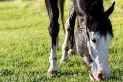 Peignez le pâturage de cheval photographie stock libre de droits