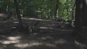 Peiler van everzwijnen stock video