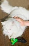 Peinar el gato mullido blanco Furminator del angora Fotografía de archivo libre de regalías