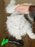 Peinar el gato mullido blanco Furminator del angora Fotografía de archivo