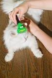Peinar el gato mullido blanco Furminator del angora Foto de archivo