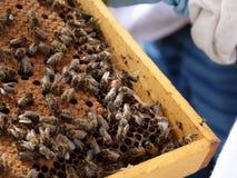 Peine con la cría de la abeja fotos de archivo libres de regalías