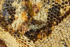 Peine de la miel con la miel floral oscura Fotografía de archivo libre de regalías