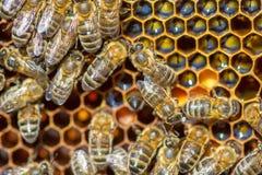 Peine de la miel y un funcionamiento de la abeja Imágenes de archivo libres de regalías