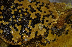 Peine fresco de la miel Imagen de archivo libre de regalías
