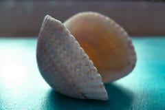 Peine hermoso de la concha marina en un fondo azul fotos de archivo libres de regalías