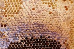 Peine lleno de la miel del marco con la miel dentro Colmena de la abeja Fotografía de archivo