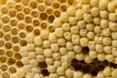 Peines de la abeja con los huevos y las abejas jovenes - abejones de la abeja Imagen de archivo libre de regalías