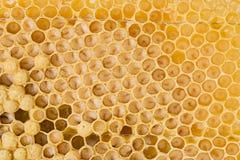 Peines de la abeja con los huevos y las abejas jovenes - abejones de la abeja Imagenes de archivo