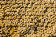 Peines de la miel, primer Foto de archivo