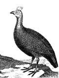 Peintade fågel Arkivfoto