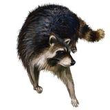 Peinture à l'huile sauvage de raton laveur Photographie stock