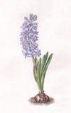 Peinture bleue d'aquarelle de jacinthe illustration libre de droits