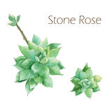 Peinture botanique d'aquarelle d'aspiration de main de cactus rose de pierre d'aquarelle Photos stock