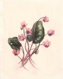 Peinture d'aquarelle de coum de cyclamen illustration de vecteur