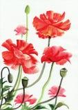 Peinture d'aquarelle des pavots rouges illustration libre de droits