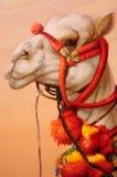 Peinture de chameau Photo stock