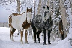 Peinture et Grey Horses se tenant au pâturage d'hiver Photographie stock libre de droits
