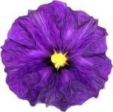 Peinture pourpre d'aquarelle de fleur pourpre Photo libre de droits