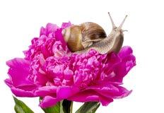 peiny rosa snail för druva Arkivbilder