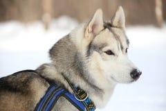 Peinzende Huskies Stock Foto's