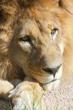 Peinzende leeuw royalty-vrije stock afbeelding
