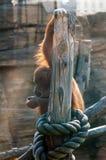 Peinzende Orangoetan Stock Afbeelding