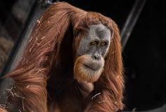 Peinzende Orangoetan Royalty-vrije Stock Afbeelding