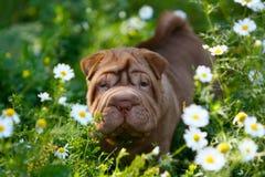 Peipuppy die zich op groen gras met witte bloemen bevinden Stock Foto
