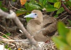 Peito Vermelho-pagado de aninhamento, Ilhas Galápagos Foto de Stock Royalty Free