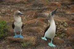 peitos Azul-footed que dançam nas Ilhas Galápagos Imagens de Stock Royalty Free