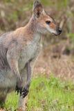 Peitsche-angebundenes Wallaby (Macropus parryi) Stockfoto
