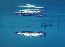 Peixe-agulha de Florida - reflexões fotografia de stock