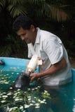 Peixe-Boi da Amazonia Obraz Stock