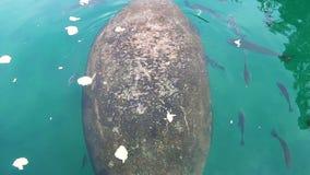 Peixe-boi de Crystal River vídeos de arquivo