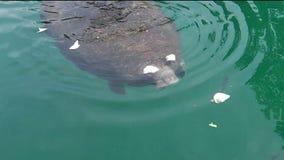 Peixe-boi de Florida video estoque