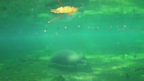Peixe-boi de Florida vídeos de arquivo
