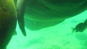 Peixe-boi que come perto acima vídeos de arquivo