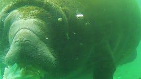 Peixe-boi que come vegetais vídeos de arquivo
