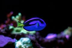 Peixe-de-são-pedro real Foto de Stock Royalty Free