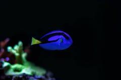 Peixe-de-são-pedro real Foto de Stock