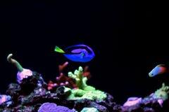 Peixe-de-são-pedro real Fotos de Stock Royalty Free