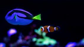 Peixe-de-são-pedro real e Nemo Imagem de Stock Royalty Free