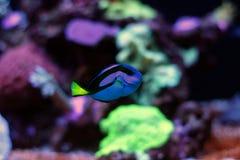 Peixe-de-são-pedro real - Hipo azul Tang Fotografia de Stock Royalty Free