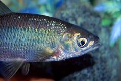 Peixe do gênero Notropis dourado (crysoleucas do Notemigonus) Fotografia de Stock