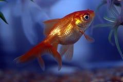 Peixe dourado foto de stock